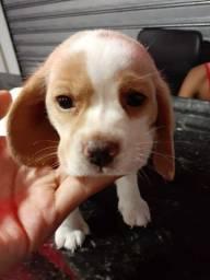 Beagle - Filhotes lindos adquire já o seu!