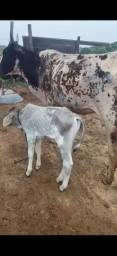Vendo vaca parida d maxo e 1 garote 5100 retirada aguas lindas