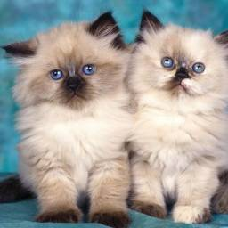 Persa gatos persa filhotes persa femeas a pronta entrega envio pra todo Brasil