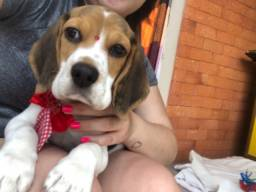 Beagle (filhote