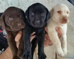 Labrador- filhotes