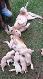 Filhotes Labradores R$ 500,00
