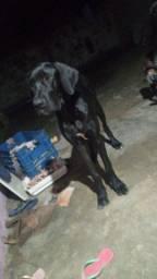 Um filhote de dog alemão com 7 mês