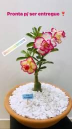 Rosas do deserto variadas
