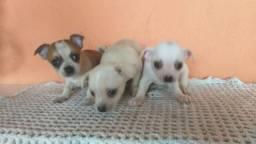Chihuahua femea pelo curto lindos filhotes !