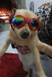 Óculos Pet Proteção - Solar - Novo