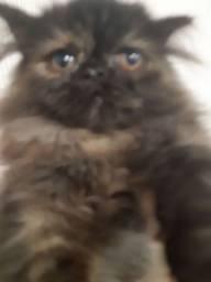 linda filhote de gata persa