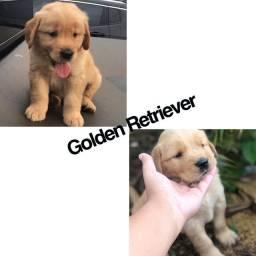 Golden retriever com pedigree microchip ate 18x