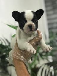 Bulldog Frances - Filhotes Lindos com Pedigree!!!