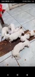 Vendo Filhotes de Pit Bull com Labrador