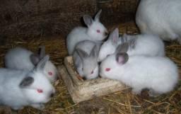 Doação de filhotes de coelho