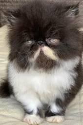 Show Gato persa macho filhote bicolor super extremado 76 dias pelo longo super lindo