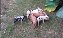 porco gratuito