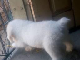 Vendo maltês com poodle