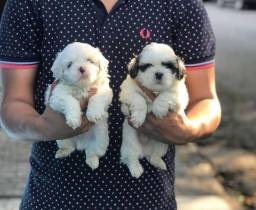 Shih tzu todas as cores com pedigree