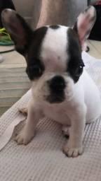 Miniatura de Bulldog
