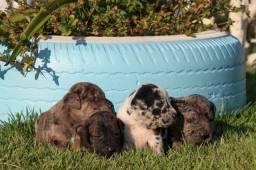 Filhotes de Cane Corso/ Dog Alemão