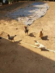 Troco por galinhas Indias