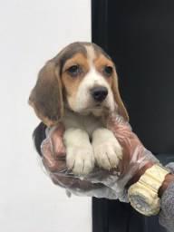 Beagle chamar no what's para informações (11) 9  *