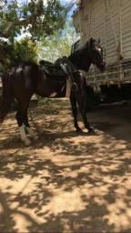 Cavalo quarto de milha com Paint horse