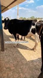Vacas leiteiras em lactação