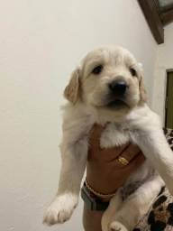 Vendo Filhote de Golden retriever