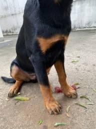 Cachorro Rottwellier