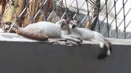 Gato macho adoção responsável