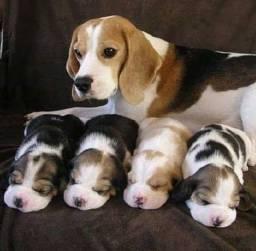 Lindos Beagle de porte pequeno + pedigree, garantia e recibo