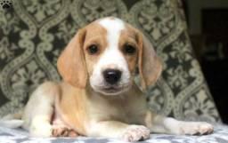 Beagle temos lindos filhotes a pronta entrega venham conferir