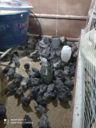 Lote de pintinhos de recria da galinha gris cêndre com 30 dias
