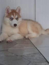 husky siberiano filhotes com pedigree e vacinas importadas