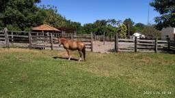 Cavalo marron brilhante