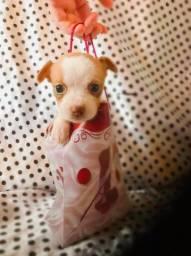 Chihuahua fêmea para alegrar o dia das mães