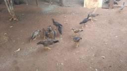 Frangas galinhas  caipiras