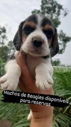 Machos de Beagles Filhotes