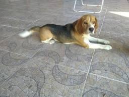 Beagle procura namorada