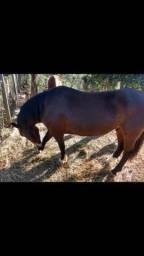 Cavalo Crioulo a venda