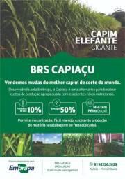 Brs Capiaçu - Capim Elefante gigante ||| BRS Kurumi - Capim elefante anão (pastejo)