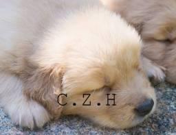 Golden Retiever filhote, com pedigree, recibo e garantia