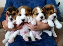 ^(13 Polegadas) Beagle! Mini com Pedigree ++ Garantia de Saúde