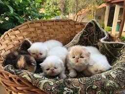 Filhotes de persa show 3 fêmeas e 2 machos