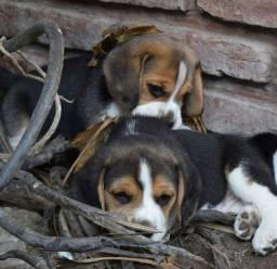 Ursinho Lindoss!! Beagle 13 Polegadas Mini. Filhote com Pedigree e Garantia de Saúde