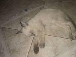 Gato macho siamê não puro