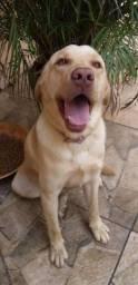 Vendo cachorro labrador