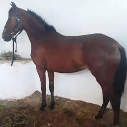 Cavalo, égua,Potra de primeira linha