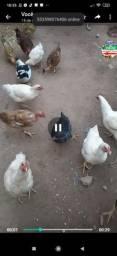 Vendo 10 frangos (todos juntos)