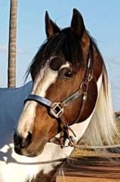 Garanhão Paint Horse Homozigoto! Máquina!!!