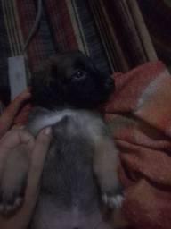 Cachorrinho Pinscher N°5