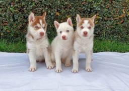 Filhotes Husky Siberiano ótima linhagem